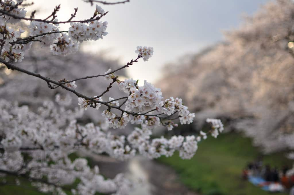 Sakura - Kirschblüte in Japan